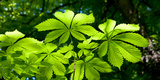 Chestnut Leaves in Springtime  Baden-Wurttemberg  Germany