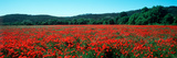 Poppies Field in Spring  Provence-Alpes-Cote D'Azur  France