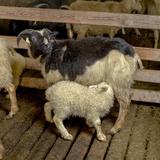 Newborn Lamb Feeding from Ewe  Eastern Iceland