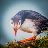 Atlantic Puffin (Fratercula Arctica) Iceland