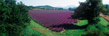 Lavender Field in Summer  Provence-Alpes-Cote D'Azur  France