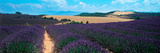 Lavender and Corn Fields in Summer  Provence-Alpes-Cote D'Azur  France