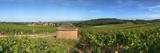 Beaujolais Vineyard  Saules  Saone-Et-Loire  Burgundy  France