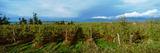 Vineyard  Washington State  USA