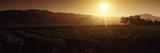 Sunrise over a Vineyard  Sonoma  California  USA
