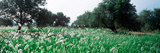 Olive Tree Plantation in Summer  Provence-Alpes-Cote D'Azur  France