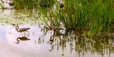 Reflection of Cranes on Water  Boynton Beach  Florida  USA