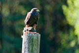 Harris Hawk (Parabuteo Unicinctus) Perching on a Wooden Post  Ontario  Canada