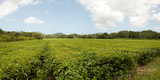 Tea Plantation  Diwan  Queensland  Australia