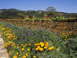 Wild Poppies and Lupine Flowers in a Vineyard  Kenwood Vineyards  Kenwood  Sonoma County