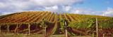 Vineyard at Napa Valley  California  USA