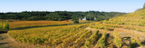 Vineyard at Chateau Souverain Winery  Sonoma County  California  USA