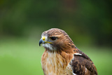 Close-Up of a Red-Tailed Hawk (Buteo Jamaicensis