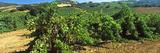 Vineyard at Napa Valley  Wine Country  California  USA