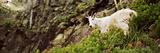 Mountain Goat (Oreamnos Americanus) Standing in Foliage  Us Glacier National Park  Montana  USA