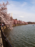 Cherry Blossom Trees in the Tidal Basin with the Washington Monument in the Background