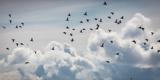 Flock of Puffin (Fratercala Arctica) Flying over Reykjavik, Harbor, Reykjavik, Iceland Papier Photo par Green Light Collection