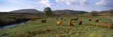 Herd of Highland Cattle Grazing in a Field  Loch Aline  Highlands Region  Scotland