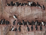 Brunnich's Guillemot (Uria Lomvia) on Alkefjellet Bird Cliffs  Spitsbergen Island  Svalbard  Norway