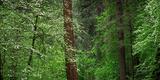 Dogwood Trees in Springtime at Yosemite National Park  California  USA