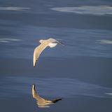 Seagull Flying Low over Reykjavik  Iceland