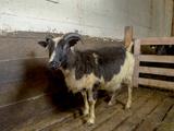 Lamb in a Pen  Ewe  Eastern Iceland