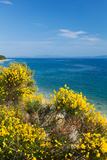 Flowering Broom at Coastal Landscape  Makarska Riviera  Dalmatia  Croatia