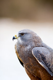 Close-Up of a Swainson's Hawk (Buteo Swainsoni