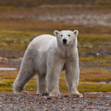 Polar Bear  Spitsbergen Island  Svalbard  Norway
