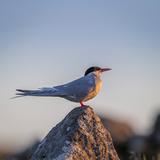 Arctic Terns (Sterna Paradisaea)  Flatey Island  Breidafjordur  Iceland