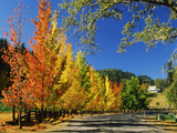 Liquidambar Trees in Autumn  Healdsburg  Sonoma County  California  USA
