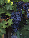 Cabernet Sauvignon Grapes in Vineyard  Wine Country  California  USA