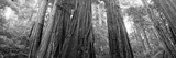 Redwood Trees  Muir Woods National Monument  California  USA