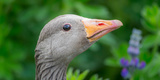 Portrait of Greylag Goose  Iceland