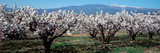 Cherry Trees in a Field with Mont Ventoux in the Background  Provence-Alpes-Cote D'Azur  France