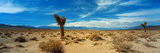 Joshua Tree in a Desert  Mojave Desert  California  USA
