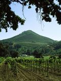 Vineyard at Chateau St Jean Winery  Kenwood  Sonoma County  California  USA