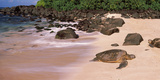 Turtles on the Beach  Oahu  Hawaii  USA