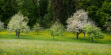 Wild Flowers with Blossoming Apple Trees in a Field  Baden-Wurttemberg  Germany