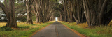 Monterey Cypress Tree Tunnel at the Point Reyes Station  Point Reyes National Seashore