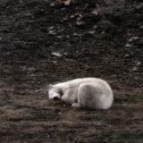 Polar Bear Sleeping  Spitsbergen Island  Svalbard  Norway
