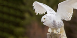 Close-Up of a Snowy Owl (Bubo Scandiacus) Prepare for Takeoff
