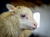 Newborn Lamb Tagged  Eastern  Iceland