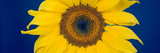 Close-Up of a Sunflower (Helianthus Annuus