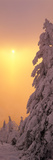 Snow Covered Tree in Winter at Sunset  Feldberg Mountain  Black Forest  Baden-Wurttemberg  Germany