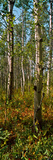 Aspen Grove at Two Medicine Valley  Us Glacier National Park  Montana  USA