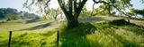California Oaks Trees  Central Coast  California  USA