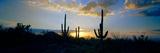 Saguaro Cactus (Carnegiea Gigantea) in a Desert at Dusk  Arizona  USA