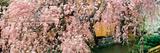 Gionshirakawa Cherry Blossom Kyoto Japan