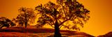 Silhouette of California Oaks Trees  Central Coast  California  USA